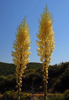 Chaparral Institute yucca