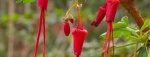 Fuscia-flowered-Gooseberry-521x198.jpg
