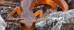 Monterey-SalamanderEnsatina-483x198.jpg
