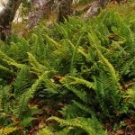 Coastal-Wood-fern-150x150.jpg