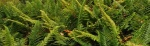 Coastal-Wood-fern-640x198.jpg