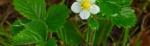 Wild-Strawberry2-640x198.jpg