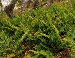 Coastal-Wood-fern.jpg
